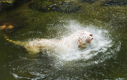 White tiger bathing in green water in jungle. White tiger in river in jungle Stock Photo