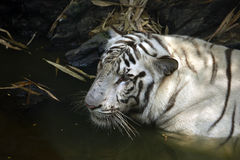 White tiger. A Beautiful white tiger standing in the water Stock Photos