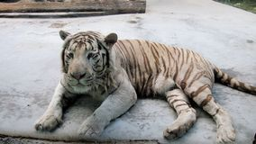 White Tiger. Beautiful and unusual white tiger in the zoo Stock Photo