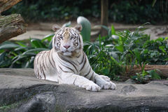 White Tiger. A beautiful white tiger which is far lighter in its colouring than the more common Bengal Tiger. The majority of its coat is a light cream colour Stock Photography