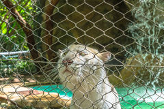 White tiger behind wire fence, close up view. White tiger staring through wire fence Royalty Free Stock Photo