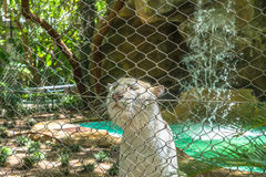 White tiger behind wire fence Royalty Free Stock Images