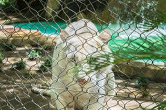 White tiger behind wire fence Royalty Free Stock Photos