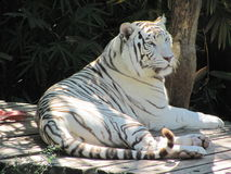 White tiger. White Bengal tiger at Audubon Zoo in New Orleans, LA Royalty Free Stock Image