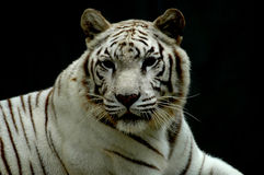 White tiger of bengali Stock Image