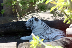 White Tiger. Big beautiful white tiger in the Moscow zoo Royalty Free Stock Image