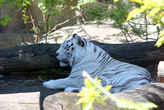 White Tiger. Big beautiful white tiger in the Moscow zoo Stock Photos