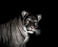 White Tiger at black background Stock Image