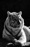 White tiger. A black and white portrait og a white tiger Stock Photo