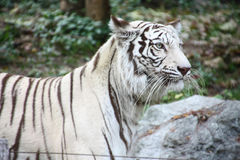 White tiger. White black striped tiger gaze on something Stock Images