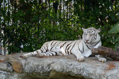 White tiger. The  or bleached tiger is a pigmentation variant of the Bengal tiger Royalty Free Stock Images