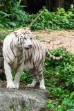 White tiger while looking for something to eat. The white tiger or bleached tiger is a pigmentation variant of the Bengal tiger, which is reported in the wild Stock Images