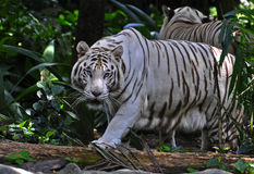 White tiger. The white tiger or bleached tiger is a pigmentation variant of the Bengal tiger, which is reported in the wild from time to time in the Indian Stock Images