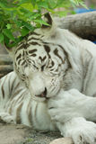 White tiger or bleached tiger is  pigmentation variant of Bengal tiger. Summer Royalty Free Stock Image