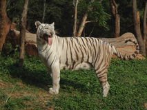 The white tiger or bleached tiger. Is a pigmentation variant of the Bengal tiger, which is reported in the wild from time to time in the Indian states of Assam royalty free stock image