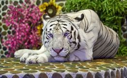 White striped tiger. White tiger with blue eyes lying on the rock stock photo