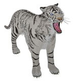 White tiger bullying Stock Photography