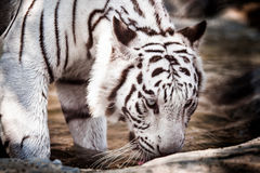 White tiger in a cage Stock Images