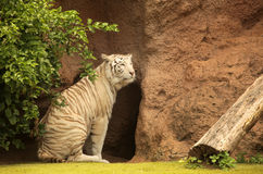 White tiger. In captivity in the Loro Parque in Tenerife, Canary Islands, Spain Stock Photo
