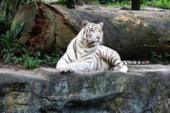 White Tiger 4. White tiger cautiously looking into the far Stock Image