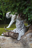 White tiger cautiously looking Stock Photos