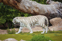 White tiger cautiously looking Stock Image