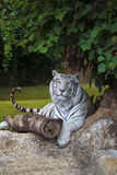 White tiger cautiously looking Royalty Free Stock Images
