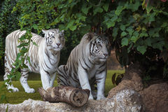 White tiger cautiously looking Royalty Free Stock Photo