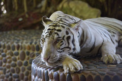 White tiger with a chain around his neck Royalty Free Stock Photo