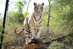 White Tiger in Chhatbir Zoo near Chandigarh royalty free stock photography
