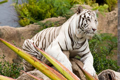 White tiger Stock Photos