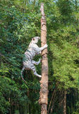 White tiger climbing trees show Stock Images