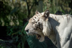 White tiger close on a grass background. royalty free stock image