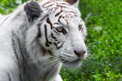 White tiger. Close portrait of white tiger in the wild Royalty Free Stock Photo