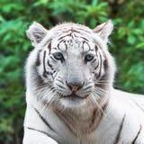 White tiger. Close portrait of white tiger in the wild Stock Photo