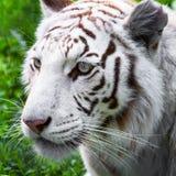 White tiger. Close portrait of white tiger in the wild Stock Image