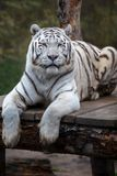 White tiger. royalty free stock photo
