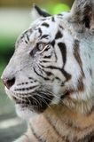 White Tiger. A close up shot of a white Tiger Royalty Free Stock Photo