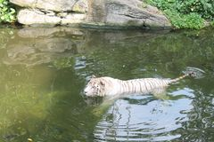 White tiger in cold water symbol of success and might. White tiger in cold water symbol of success and might Stock Image