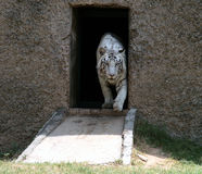 White Tiger coming out Stock Image