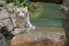 White Tiger Cooling Off In The Water Stock Image