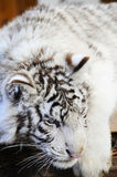 White Tiger Cub Royalty Free Stock Photo
