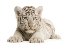 White Tiger cub (2 months). In front of a white background Royalty Free Stock Images
