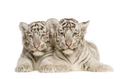 White Tiger cub (2 months). In front of a white background Stock Image