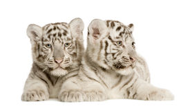 White Tiger cub (2 months). In front of a white background Royalty Free Stock Image