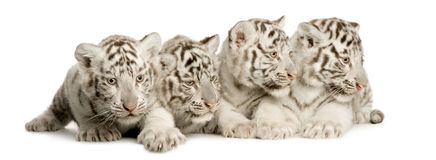 White Tiger cub (2 months). In front of a white background Royalty Free Stock Photo