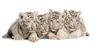 White Tiger cub (2 months). In front of a white background Stock Photography