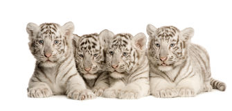 White Tiger cub (2 months). In front of a white background Stock Photos