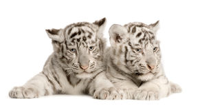 White Tiger cub (2 months) Stock Photos