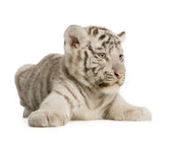 White Tiger cub (2 months). In front of a white background Stock Photo
